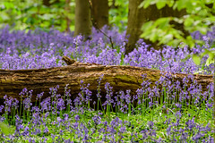 Bluebells around a fallen tree (Petra S photography) Tags: bluebells bluebellseason bluebellforest wildflowers tree beechtrees hallerbos boisdehal waldhyazinthen hasenglöckchen jacinthes spring halle vlaamsbrabant