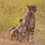 Cheetah, Maasai Mara thumbnail