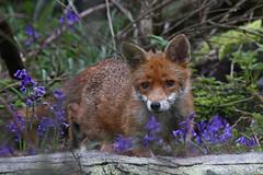 IMG_5219-Reworked (superbrad-) Tags: superbrad superbradphotos ianbradley derbyshire oakwood derby chaddesdenwood fox foxcub cub wood