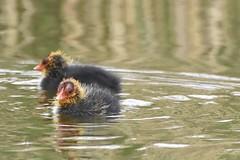 Coot chicks. (mccarrellkyle) Tags: bird wetland wildlife nature brave offspring lake chicks coot