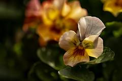 Single Pansy (Greta Powell) Tags: light macro flower flowers pansies viola violas bright canon canonphotography nature fleur outside gardens derbyshire derbyshiregardens