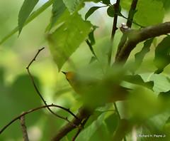 Blue-winged Warbler_5037_00001-001 (Henryr10) Tags: woodlandmound hamiltoncountyparkdistrict cincinnati greatparksofhamiltoncounty warbler bluewingedwarbler vermivoracyanoptera vermivora avian bird vogel ibon oiseau pasare fågel uccello tékklistar bwwa