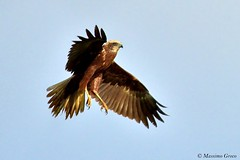 Falco di palude (Circus aeruginosus) (Massimo Greco *) Tags: falco di palude circus aeruginosus