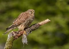 Kestrel (Steven Mcgrath (Glesgastef)) Tags: kestrel bird prey raptor glasgow scotland uk wild wildlife nature urban vole perch