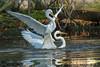 Do you like my ride? (Earl Reinink) Tags: bird animal ride water lake swamp reflection fight egret greategret nature wildlife outdoors earlreinink rarazahdea