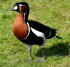 Red-breasted Goose (Lanius Excubitor) Tags: red breasted goose bird nikon branta ruficollis
