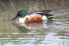 Northern Shoveler (Gf220warbler) Tags: idaho dabbling duck waterfowl