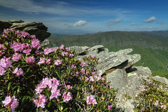 Spring Has Sprung on Hawksbill Mountain (Reid Northrup) Tags: rrs chimneys nature carolinarhododendrons clouds flower forest hawksbillmountain landscape linvillegorge nikon northcarolina reidnorthrup rhododendrons rocks rugged trees