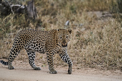 SA2019-1 000238 (florida-london-ply) Tags: safari mala kruger leopard