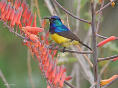 Variable Sunbird Cinnyris venustus falkensteini (nik.borrow) Tags: bird sunbird ndutu