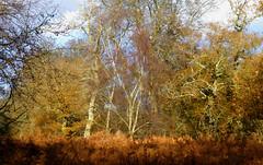 New Forest NP, Hampshire, UK (east med wanderer) Tags: england hampshire uk newforestnationalpark markashwood nationalpark oak beech bracken forest woodland autumn