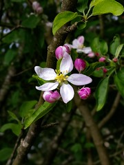 """And I feel the light, for the very first time... (Mellisapix) Tags: open appletree branches buds flowers white petal light green red apple blossom tree"
