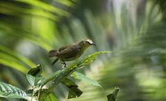 Thrush Nightingale (j.m.sohag) Tags: bdbirds birdography birds natural naturalbeauty naturenbirds green jungle forest motion