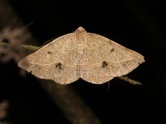 Taxeotis epigaea (dhobern) Tags: 2019 april australia lamingtonnationalpark queensland lepidoptera geometridae oenochrominae taxeotisepigaea
