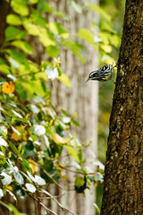 Black & White Warbler [04.24.19] (Andrew H Wagner | AHWagner Photo) Tags: 5dmk3 5d3 5dmkiii 5dmarkiii 5dmark3 canon eos 100400l 100400mm f4556l f4556 is ii usm zoom telephoto 100400lii bokeh dof patuxentriverpark riverpark patuxentriver patuxent river park jugbay marylandnaturalarea princegeorgescounty wildlifesanctuary nature marsh swamp wetlands naturalarea forest woods birds birding birdphotography