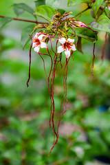 Strophanthus (yc4646) Tags: apocynaceae magnoliophyta magnoliopsida angiospermes dicots dicotylédones dogbane floweringplants phanérogames plantesàfleurs plantesàfruits plants strophanthus