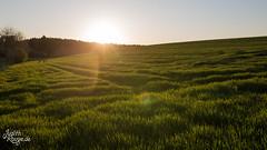 Evening Walk I (judithrouge) Tags: field sun sundown evening light green fresh spring feld acker sonne sonnenuntergang abend abendlicht lichtstimmung grün frisch frühling frühjahr