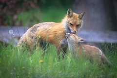 Foxes Are Good People (curious_spider) Tags: fox redfox foxes foxen foxkits foxpups foxpuppies babyfoxes kits