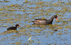 Common Gallinule (Laura Erickson) Tags: gruiformes commongallinule kissimmeelakefrontpark birds rallidae osceolacounty species places florida commonmoorhen gallinulagaleata