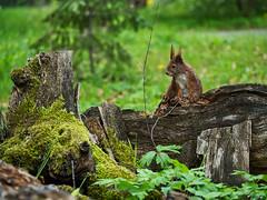 fragende Blicke (lebastian) Tags: panasonic dmcgx8 olympus m60mm f28 macro squirrel eichhörnchen natur nature animal wildlife tier fell niedlich