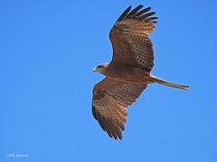 Yellow-billed Kite Milvus aegyptius parasitus (nik.borrow) Tags: bird kite raptor ngorongoro