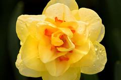 Unusual Daffodil 3-0 F LR 4-13-19 J487 (sunspotimages) Tags: flower flowers daffodil daffodils nature yellow yellowflower yellowflowers yellowdaffodil yellowdaffodils