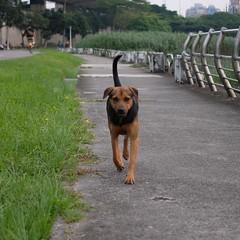 Dog (theq629) Tags: taiwan taipei animal dog path riverside longshanriversidepark wanhua