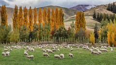 Autumn in rural South Island of New Zealand (annepowell500) Tags: autumn rural sheep grazing hills newzealand south island