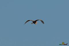 A-LUR_5843 (OrNeSsInA) Tags: aly passignano panicale natura panorami campagma campagna landescape trasimeno nikon canon airone airon cormorano spettacolo birdwatching albero cielo animale mare acqua uccello