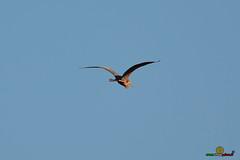 A-LUR_5841 (OrNeSsInA) Tags: aly passignano panicale natura panorami campagma campagna landescape trasimeno nikon canon airone airon cormorano spettacolo birdwatching albero cielo animale mare acqua uccello