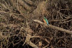 PILT4060 (ottmaasikas) Tags: jäälindalcedoatthiskingfisher kingfisher jäälind alcedo atthis