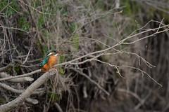 PILT4056 (ottmaasikas) Tags: jäälindalcedoatthiskingfisher kingfisher jäälind alcedo atthis