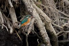 PILT4041 (ottmaasikas) Tags: jäälindalcedoatthiskingfisher kingfisher jäälind alcedo atthis