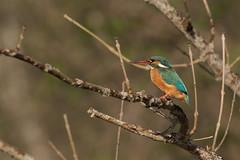 PILT4017 (ottmaasikas) Tags: jäälindalcedoatthiskingfisher kingfisher jäälind alcedo atthis