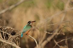 PILT3993 (ottmaasikas) Tags: jäälindalcedoatthiskingfisher kingfisher jäälind alcedo atthis