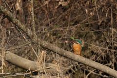 PILT3989 (ottmaasikas) Tags: jäälindalcedoatthiskingfisher kingfisher jäälind alcedo atthis