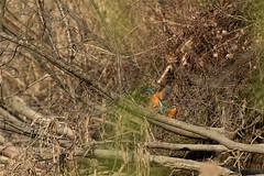 PILT3981 (ottmaasikas) Tags: jäälindalcedoatthiskingfisher kingfisher jäälind alcedo atthis