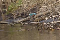 PILT3855 (ottmaasikas) Tags: jäälindalcedoatthiskingfisher kingfisher jäälind alcedo atthis
