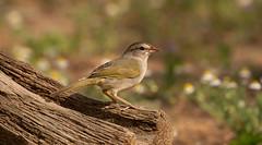 Olive Sparrow (markvcr) Tags: olive sparrow bird nature wildlife birding