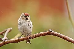 Sizerin flammé / Common Redpoll (alainmaire71) Tags: oiseau bird fringillidés fringillidae carduelisflammea sizerinflammé commonredpoll nature quebec canada bokeh