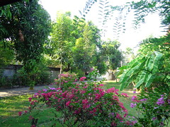 more mahogany trees in our yard (the foreign photographer - ฝรั่งถ่) Tags: bougainvillea yard house our bangkhen bangkok thailand nikon d3200