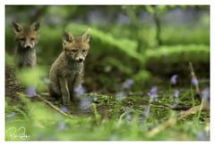 brothers in wonderland (richgparkes) Tags: red fox bluebells wood nature wet rain