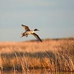 bird Northern pintail on Seedskadee NWR 82 thumbnail