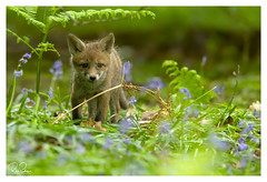 adventures in wonderland (richgparkes) Tags: red fox cubs bluebells wood nature wet rain
