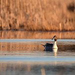 bird Northern pintail on Seedskadee NWR 76 thumbnail