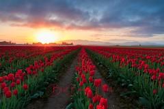 Skagit Valley Sunrise (Beve Brown-Clark) Tags: sunrise skagitvalley tulips tulip tulipfields springtime spring landscape nature washington usa