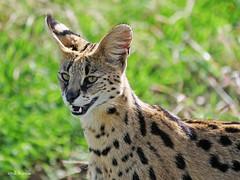Serval Leptailurus serval (nik.borrow) Tags: mammal serval cat ngorongoro
