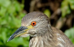 Night Heron Portrait (Rassilonphotography) Tags: heron yellow black crowned bird florida marsh swamp young juvenile orange eye wild
