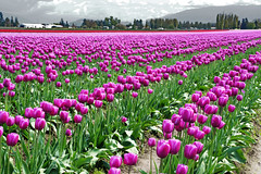 Purple Rows (sea turtle) Tags: purple purpleandgreen skagitvalley skagit skagitcounty tulip tulips tulipfield tulipfields flower flowers skagitvalleytulipfestival northwest pacificnorthwest washington washingtonstate laconner mountvernon