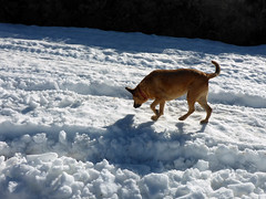 Snow dog (simonov) Tags: peavinepeak peavine mountain washoe county reno humboldttoiyabenationalforest camping snow spring bella dog hund chien 狗 σκύλοσ madra cane 犬 perro 개 سگ собака الكلب germansheprador